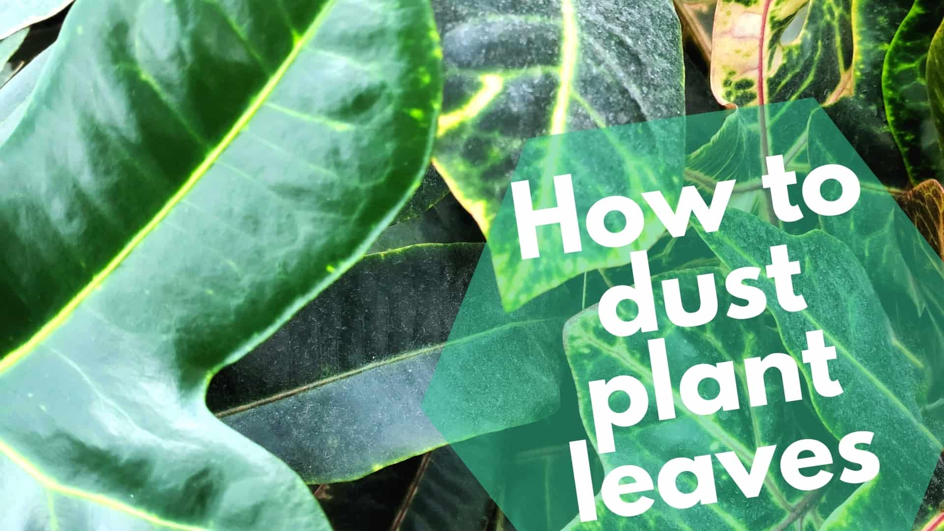 How to dust plant leaves
