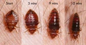 bed-bug-feeding-300x158